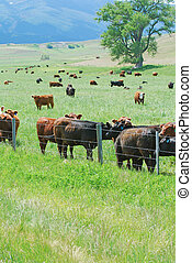 Green pastures with cattle grazing