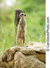 Meerkat position standing watchful