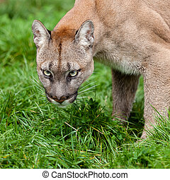 Head Shot of Puma with Beautiful Eyes Felis Concolor