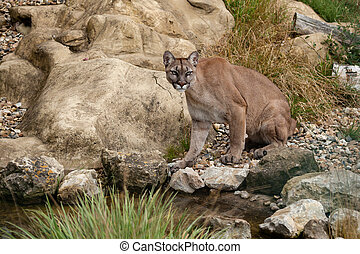 Puma Sitting on Rocks Felis Concolor