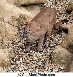 Puma Crouching Ready to Pounce - Puma on Rock Crouching...