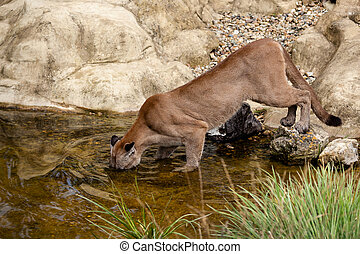 Puma Fishing in a Pond Felis Concolor