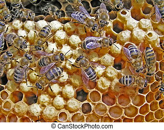 Reproduction of bees. - From the eggs postponed an uterus...