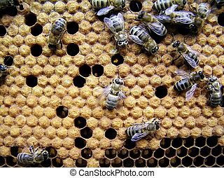 Young bees. - In a cent there is a young bee which went out...