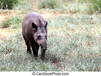 Baird's tapir walking through forest searching for food....