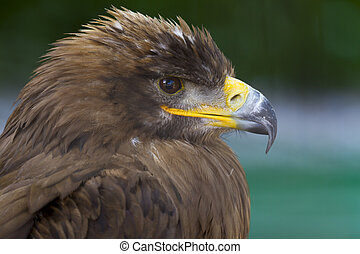 Steppe Eagle - The Steppe Eagle breeds from Romania east...