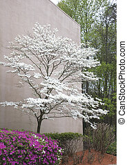 Azalea and Dogwood - A pink azalea and a white dogwood tree...