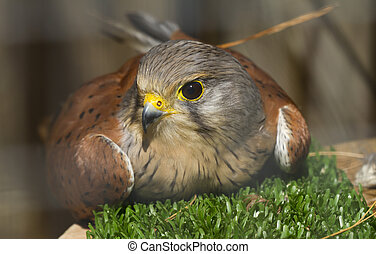 Common Kestrel - The kestrel is a bird of prey diurnal and...