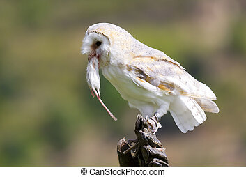 Barn Owl eating a small rodent
