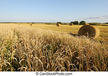Wheat field - Ripe wheat field, agriculture, harvest