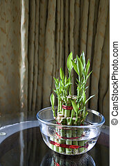 Bamboo-good luck plant five - Lucky Bamboo stalks tied with...