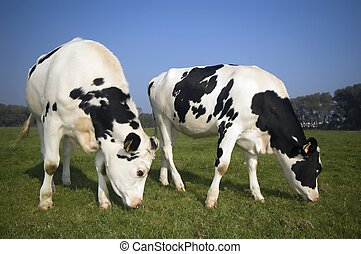 two flemish cows in the field - flemish cows in the field...
