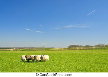 sheep on grass with blue sky