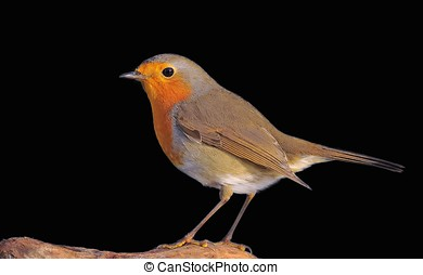Robin. - Robin, Erithacus rubecula on a black background.