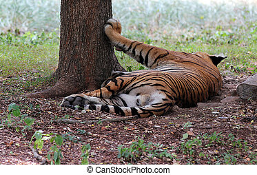 Majestic & beautiful royal bengal tiger which is the biggest...