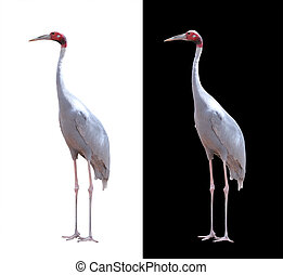 Beautiful sarus crane isolated on white with clipping path....