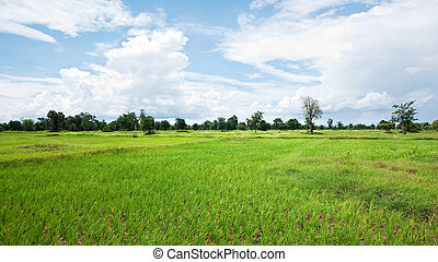 Rice field in Cambodia - Dried out rice field in Banteay...