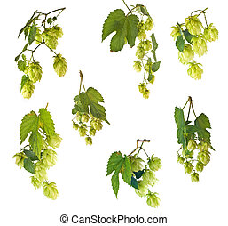 hops - Blossoming hop with leaves on a white background