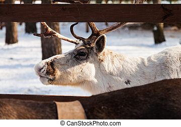 White reindeer - Reindeer farm near the city of Moscow...