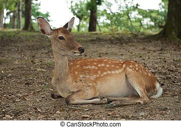 Nara Deer - One of the famous sacred sika deers in Nara,...