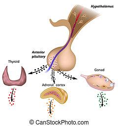 el, hypothalamic, Pituitario, hachas