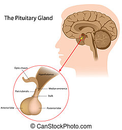 The pituitary gland, eps8