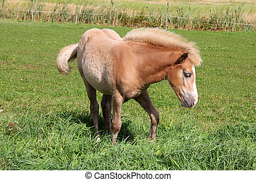 Young Palomino Filly - Finnhorse filly of palomino color on...