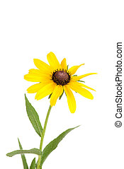 Isolated black eyed susan flower on white background