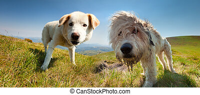 Two dog of the shepherd at summer in the mountains