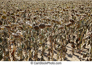 Climate change - Natural disaster, drought in a sunflowers...