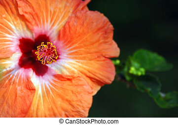 Big Island Bloom - Gorgeous orange hibiscus blooms on the...