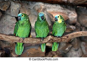 blue-fronted, amazonka,  aestiva),  (amazona, trzy