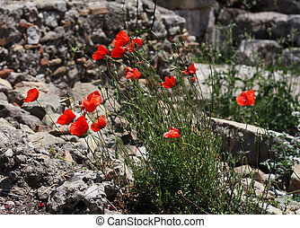 Many red poppies on stone background.