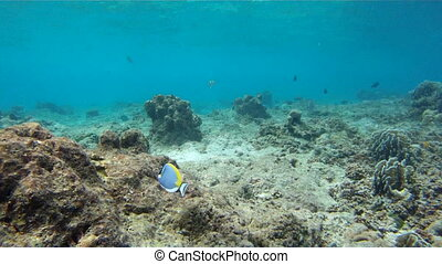 wild powderblue surgeonfish - Fish Powder blue tang...