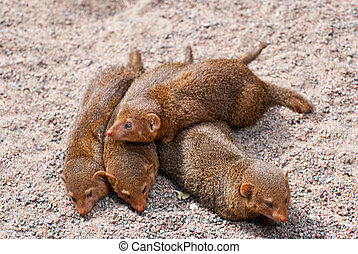 Mongoose - Flock mongoose on vacation