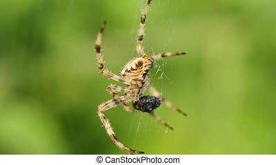 garden spider feeds a victim
