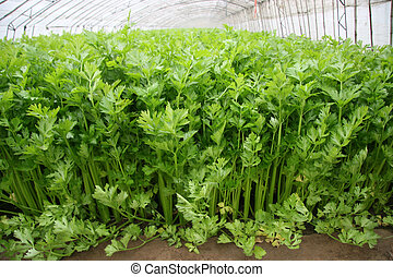 celery in a greenhouse, closeup of pictures, North China