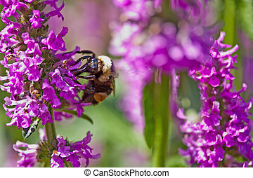 Queen Bee - A queen bee gathering nectar from lavendar...