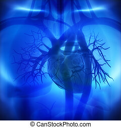 Coronary arteries, auricles, ventricles in human heart