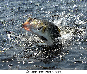 Fish Fight - Five pound bass puts up a struggle and splashes...