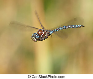 dragon, mid-air - Paddle-tailed Darner male dragonfly in...