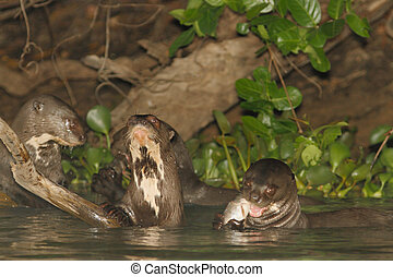 Giant River Otters at lunch - Giant River Otters eating...