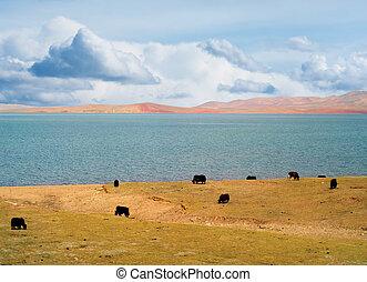 Grazing yaks