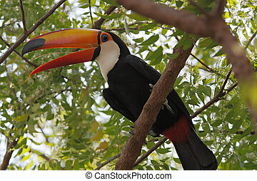 Toco Tongue - Toco Toucan on a tree