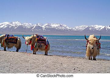Yaks, Tibet