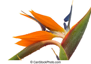 Strelitzia - Bird of paradise flower (Strelitzia) isolated...