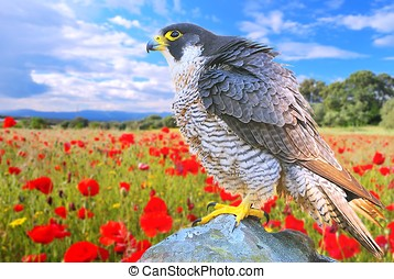 Peregrine Falcon. - Peregrine Falcon in a poppy field on a...