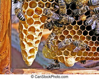 Bees are builders - Bees gladly build presented them the...