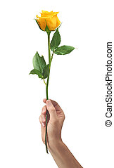 yellow rose flower in hand men isolated on white background