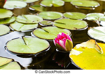 Water Lily - Only slowly blooming water lily underdeveloped...